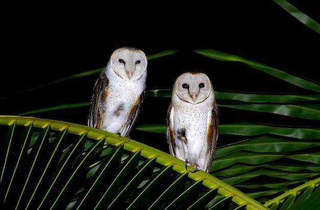 Effraie des clochers tyto albabeaux oiseaux de thaïlande