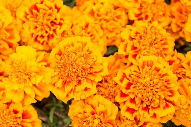 Égayez n'importe quel paysage. fond de tagètes souci. jardin fleuri et jardinage. jardinage et aménagement paysager. jardinage et horticulture. passe-temps de jardinage. boutique de fleurs. floraison des fleurs d'été.