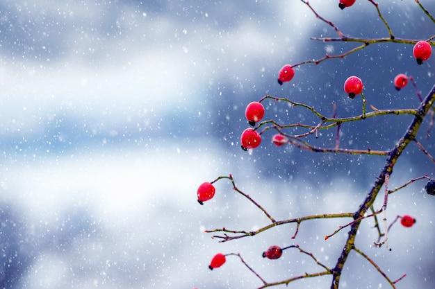 L'églantier rouge sur un arrière-plan flou en hiver lors d'une chute de neige
