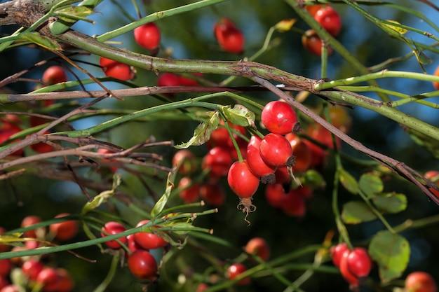 L'églantier rouge sur une branche macrophotographie en gros plan