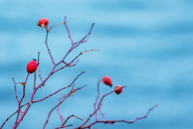 Églantier rouge sur l'eau bleue