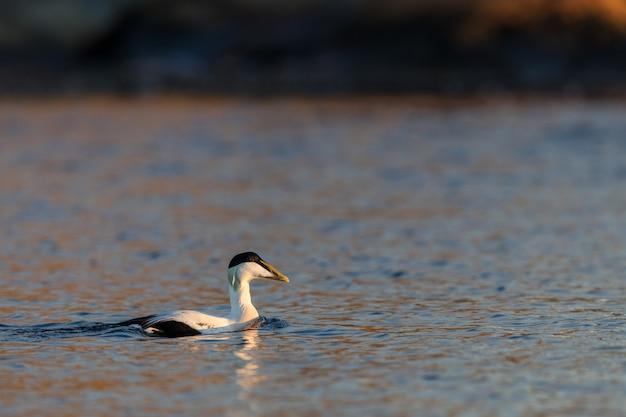 Eider à duvet mâle nage dans la mer bleue calme en hiver