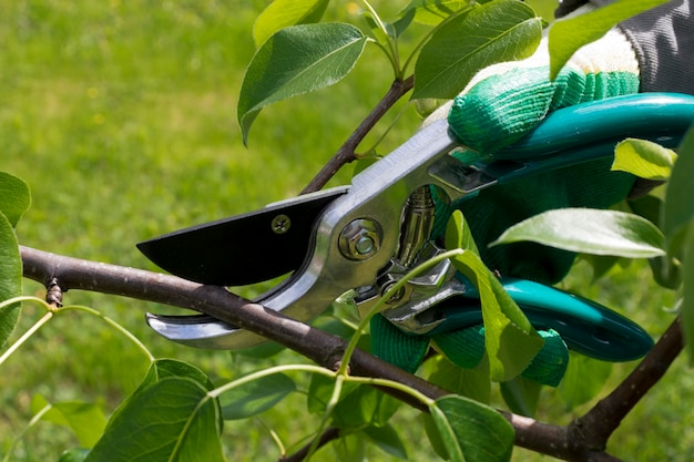 Élagage d'été des arbres pour former une couronne et stimuler la fructification le fermier tient un sicateur et coupe une branche d'arbre le jardinage d'été