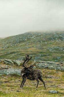 Un élan se nettoyant sur une montagne