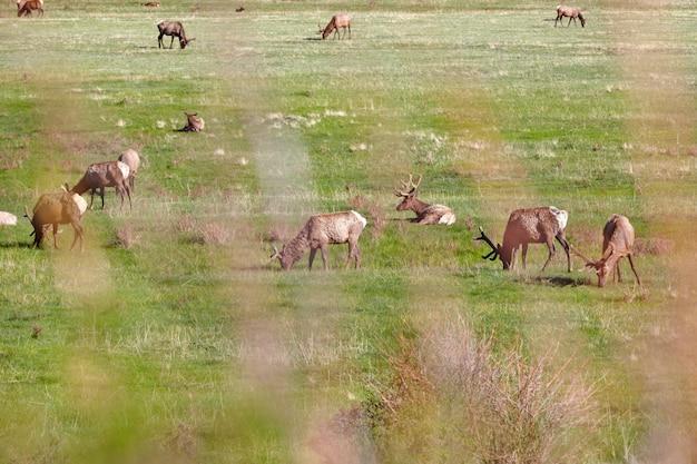 Elans sur prairie dans le parc national des rocheuses