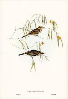 Élégant mangeur de miel (ptilotis ornatus) illustré par elizabeth gould