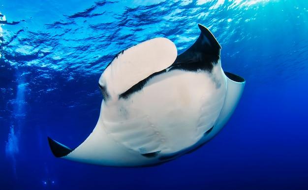 L'élégante raie manta flotte sous l'eau. la raie géante des océans se nourrit de plancton. vie marine sous-marine dans l'océan bleu. observation du monde animal. aventure de plongée sous-marine dans la mer de cortez, côte du mexique