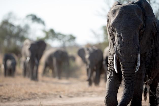 Éléphant africain marchant avec le troupeau
