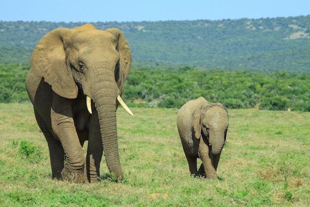 Éléphant d'afrique et bébé marchant à travers le champ ouvert