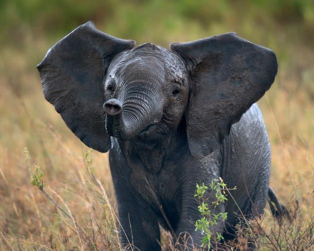 Éléphant d'afrique dans le parc national du serengeti