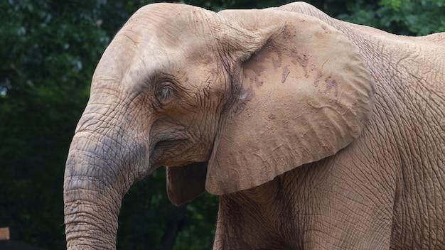 Un éléphant d'afrique, gros plan,
