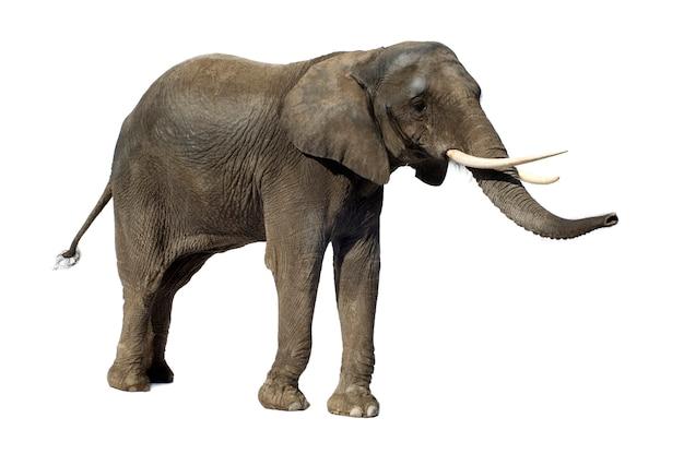 Éléphant d'afrique isolé