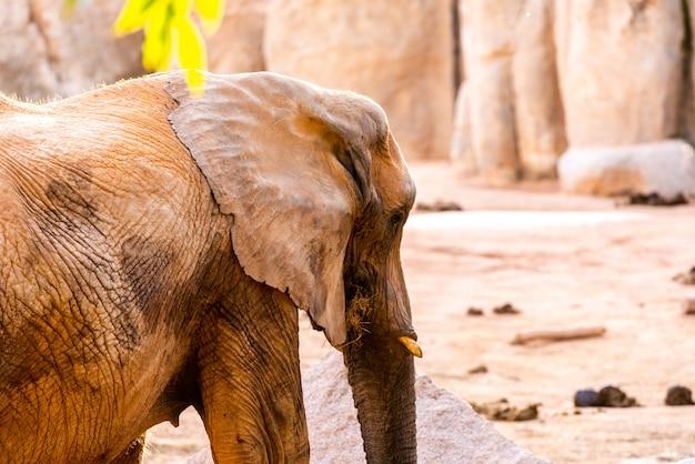 Éléphant d'afrique marchant dans un zoo et souriant.