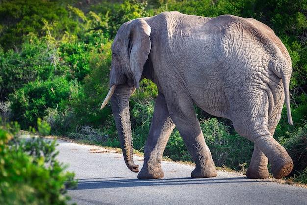 Éléphant d'afrique traversant la route dans le parc national d'addo, afrique du sud