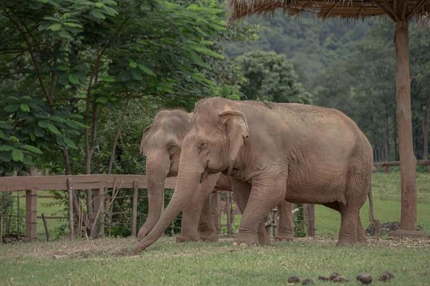 Éléphant d'asie dans une nature du parc naturel des éléphants, chiang mai. thaïlande.