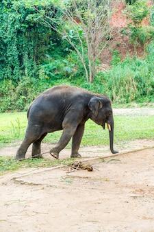 Éléphant à chiang mai, thaïlande