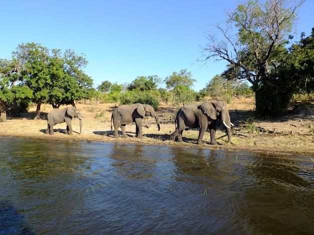 L'éléphant sur la côte du fleuve zambèze, botswana, africa