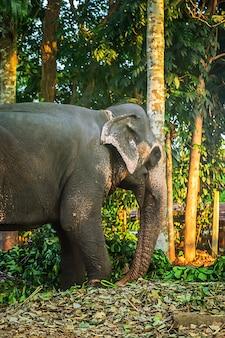 Éléphant dans la ferme d'éléphants sur l'île de sri lanka