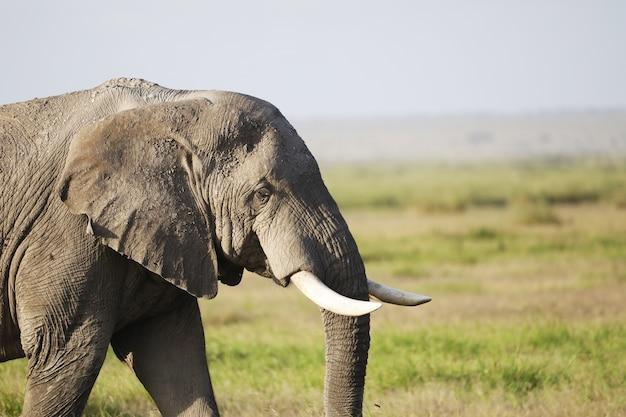 Éléphant dans le parc national d'amboseli, kenya, afrique