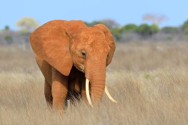 Éléphant dans le parc national du kenya, en afrique