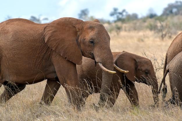 Éléphant dans le parc national du kenya, afrique