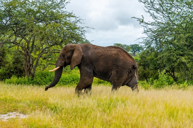Éléphant dans un parc national en tanzanie