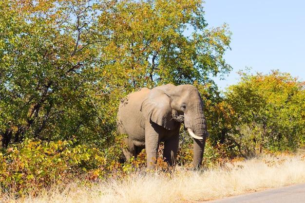 Éléphant du parc national kruger, afrique du sud. la faune africaine. loxodonta africana