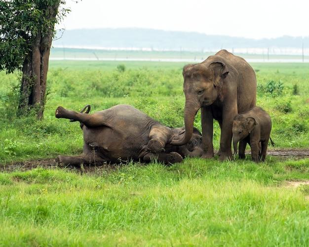 Éléphant à l'état sauvage sur l'île du sri lanka