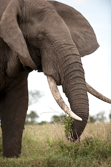 Éléphant à l'état sauvage