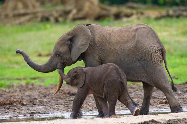 Éléphant femelle avec un bébé. république centrafricaine. république du congo. réserve spéciale de dzanga-sangha.