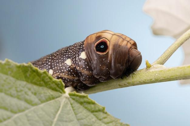 Elephant hawk moth sur feuille verte close up, créature ver