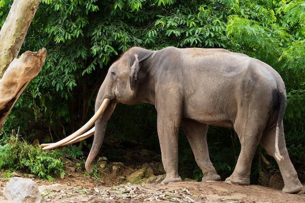 Éléphant indien en forêt.