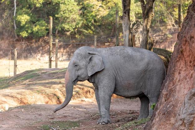 Éléphant lankésien (elephas maximus maximus).