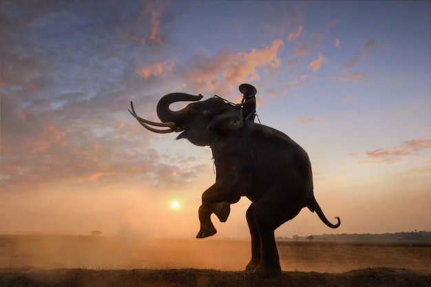 Elephant et mahous sur pendant le lever du soleil, surin thaïlande