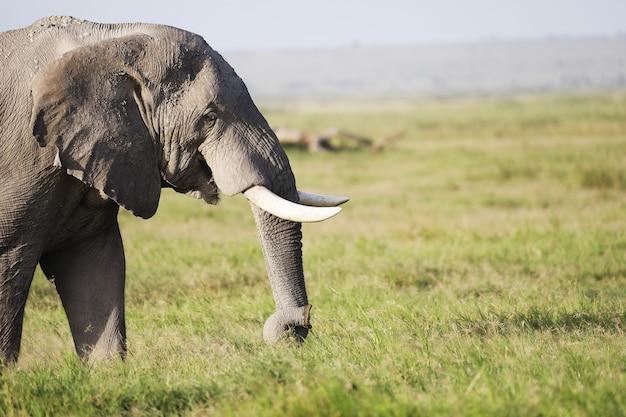 Éléphant marchant sur un champ vert dans le parc national d'amboseli, kenya