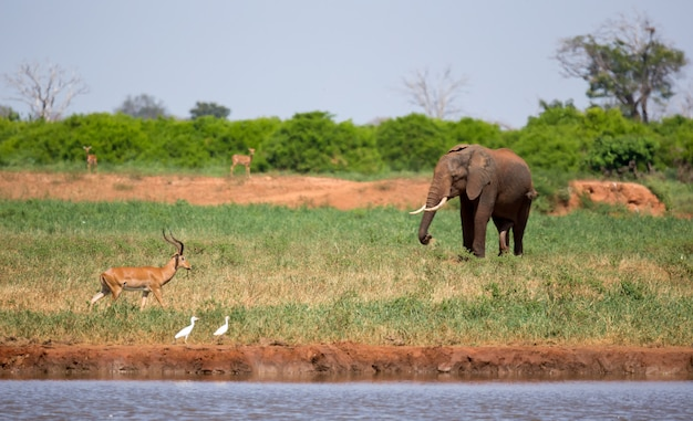 Un éléphant sur le point d'eau dans la savane du kenya