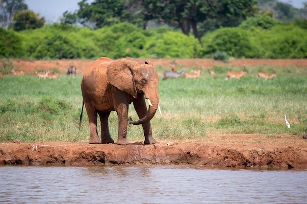 L'éléphant rouge boit de l'eau du point d'eau