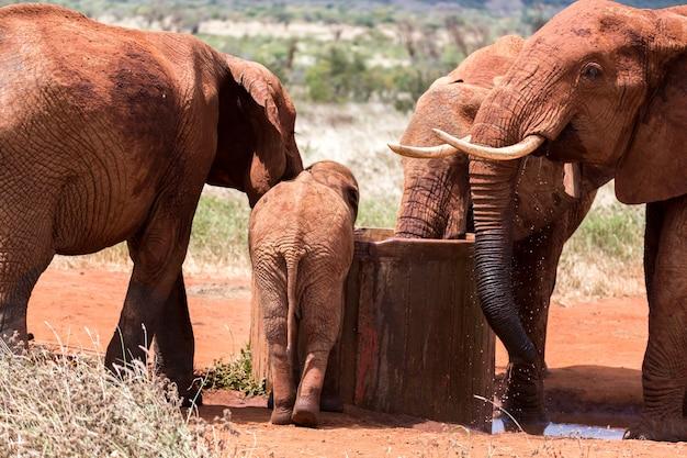 L'éléphant rouge boit de l'eau d'un puits