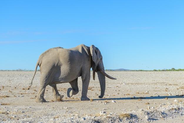 Éléphant sauvage marchant dans la savane africaine