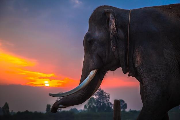 Éléphant thaïlandais