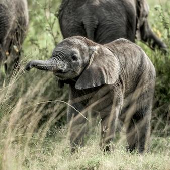 Éléphant de veau dans le parc national du serengeti