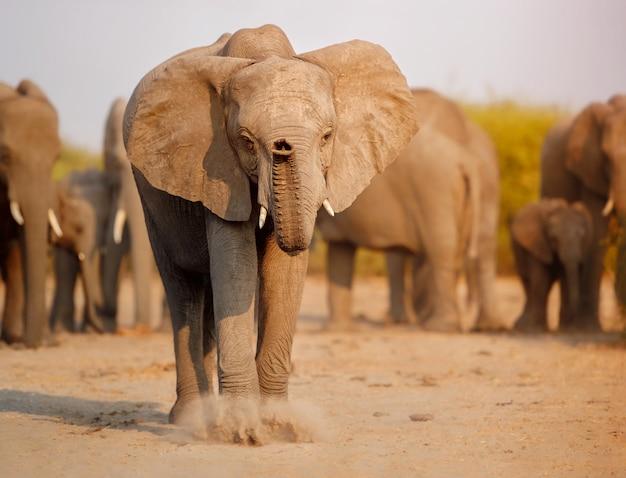 Éléphants africains ensemble dans la nature