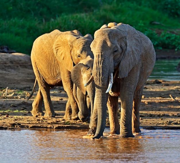 Éléphants d'afrique dans leur habitat naturel. kenya
