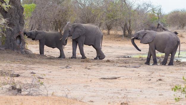 Éléphants d'afrique marchant dans la brousse