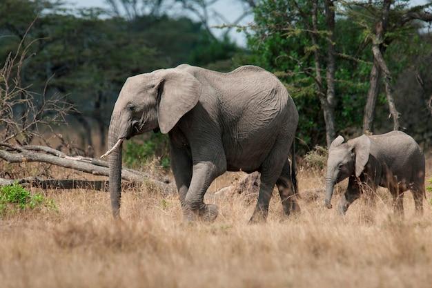 Eléphants au kenya