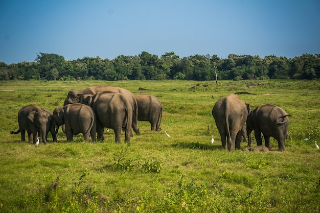 Éléphants au parc national de minneriya à minneriya, sri lanka