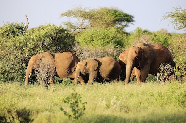 Les éléphants côte à côte dans le parc national de tsavo east, kenya