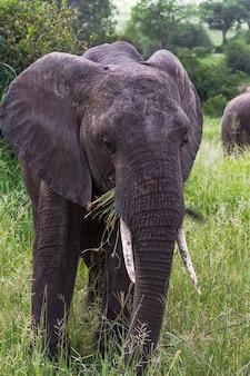 Éléphants dans l'herbe verte dans la nature
