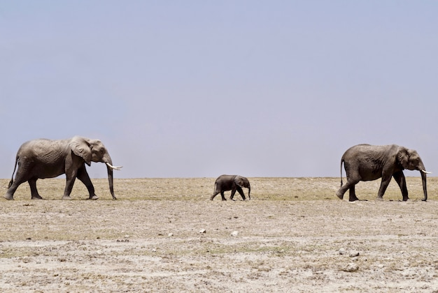 Éléphants dans le parc national d'amboseli