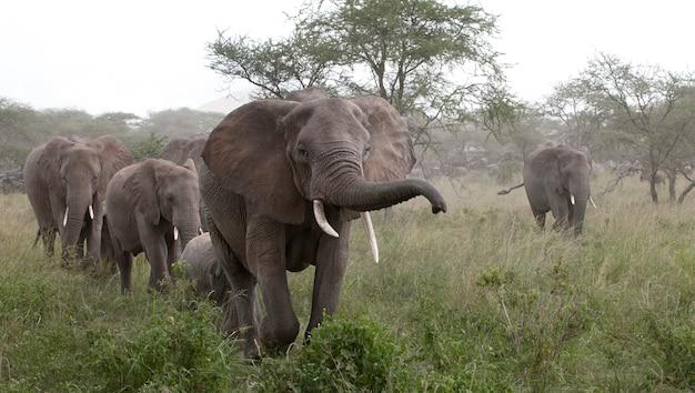 Éléphants dans le parc national du serengeti